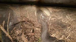 snake eating an egg