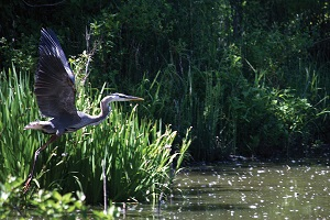 great blue heron taking flight next to the lake