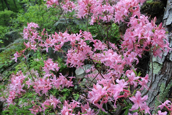 pink azaleas blooming next to a bluff
