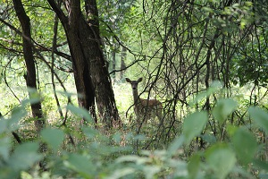 a deer peeping from behind tree branches in the woods