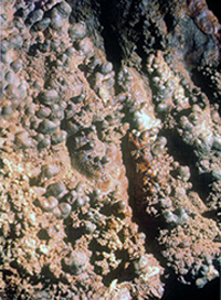 Cave coral on the walls of Onondaga Cave