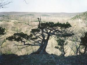 Millenium Cedar Tree